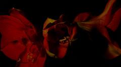 Amaryllis Head Shoots Open - 29,97FPS NTSC - stock footage