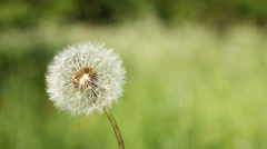 Dandelion on the wind on the meadow Stock Footage
