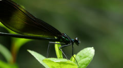 Closeup of Ebony Jewelwing Damselfly Insect Stock Footage