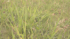 Follow walk green grass meadow pasture wildflower pov point of view hunter wild  Stock Footage