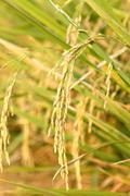 Spike in thai farm rice near sunset Stock Photos