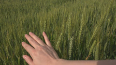 Farmer hand touch green wheat oat stem stalk field rural plant cereal meadow day Stock Footage