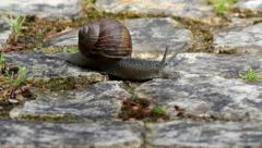 Comum Garden Snail crawling A159s Stock Footage