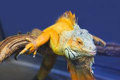 Big iguana lizard in terrarium Stock Photos