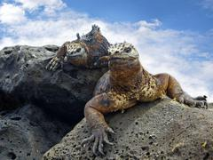 Galapagos marine Iguanas Stock Photos
