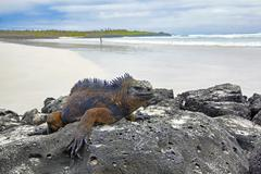 Galapagos marine Iguana - stock photo