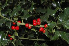 English Holly tree with red berries Stock Photos