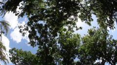 Pecan tree Stock Footage