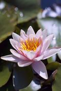 Hardy Water Lily - stock photo