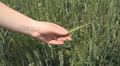 Farmer hand research verify wheat seed unripe ripe harvest culture field touch  Footage