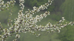 Stock Video Footage of Beautiful spring flower apple pear tree springtime green bloom blossom scent day
