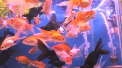 Fish golden in the aquarium Stock Footage