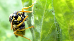 Extreme close up wasp Stock Footage