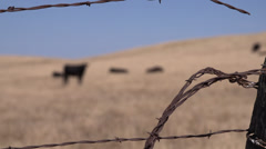 Black Angus Cattle in Dry Pasture Stock Footage