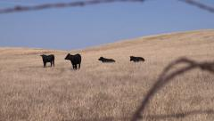 Black Angus Cattle in Dry Pasture - stock footage