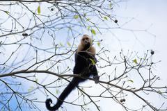 White faced Capuchin - stock photo