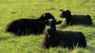 Stock Video Footage of Black Sheep Chilling, Chewing and Staring - 25FPS PAL