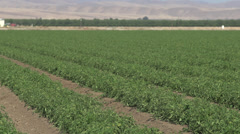 Crop of Tomato Plants Stock Footage