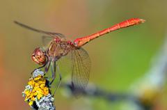 Red dragonfly at rest; sympetrum vulgatum Stock Photos