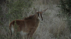 Sable antelope calf Stock Footage