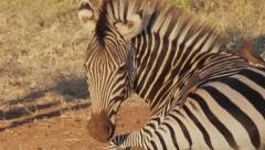 Zebra with Oxpeckers #2 Stock Footage