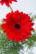 Red gerbera daisy flower Stock Photos