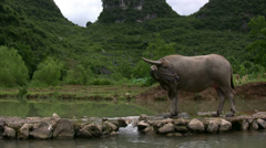 A cow in a Yangshuo valley in China Stock Footage