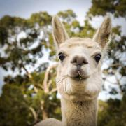 alpaca - stock photo