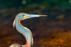 Bird with long beak or bill called Anhinga - stock photo