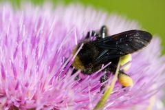 Bee pollinating a pink flower Stock Photos