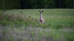 Two Whitetail Deer walk through a meadow at dusk. Stock Footage