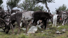 A White Fawn in a Herd of Grazing Caribou Reindeer - 25FPS PAL - stock footage