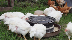 Chickens eating organic, green grass, poultry raising, hens, fowls, organic farm Stock Footage