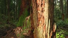 Old Stump, Pacific Northwest Rainforest Stock Footage
