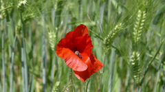 Wheat 3 - With red flower Stock Footage