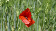 Stock Video Footage of Wheat 3 - With red flower