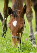 Detail of grazing horse - stock photo