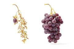 red grape and bunch - stock photo