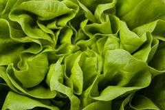 fresh lettuce - stock photo