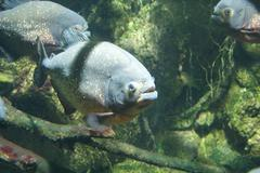 Red-bellied Piranha - Pygocentrus nattereri Stock Photos