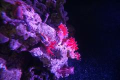 Sea Apple - Pseudocolochirus violaceus - stock photo