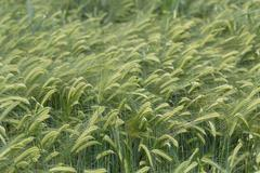 individual barley in a field detail - stock photo