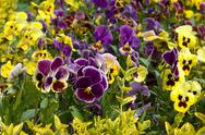 Field pansy flowerbed Stock Photos