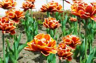 Red tulips flowerbed Stock Photos