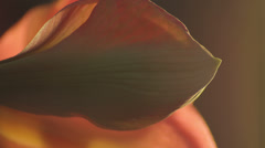 Amaryllis Opening Towards the Light - 4K 25FPS PAL - stock footage