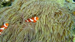 Clownfishes in anemones on the ocean bottom Stock Footage