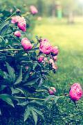 Peonies blooming in the garden Stock Photos