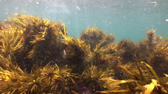 Swaying kelp beds in shallow blue water thick with platonic life #7-32 Stock Footage