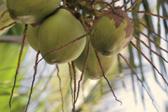 Coconuts hanging on palm tree Stock Footage