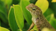 Chameleon and leaf Stock Footage